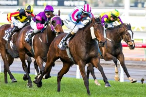 Akavoroun will contest black type events in Sydney through the 2015 Autumn Carnival. Photo: Race Horse Photos Australia