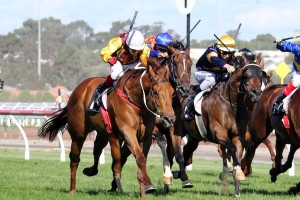 Garud (Inside, Gold Cap) will target the 2015 Launceston Cup this season. Photo: Adrienne Bicknell