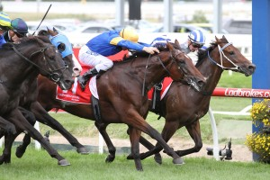 Santa Ana Lane, above in blue and gold colours, will run for Inglis in the 2018 version of The Everest at Randwick. Photo by Ultimate Racing Photos.