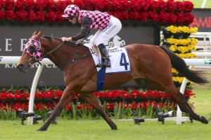 Hopfgarten, above, has drawn a wide barrier in the Villiers Stakes at Randwick. Photo by Daniel Costello.