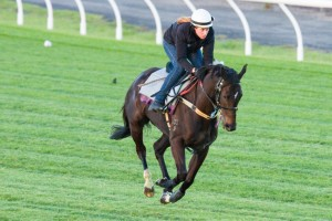 Royal Descent (pictured at track work on Tuesday) has been the best backed runner in Caulfield Cup betting markets.