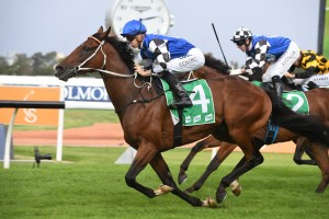 Big Duke, above, is set to back up in the Caloundra Cup at the Sunshine Coast. Photo by Steve Hart.