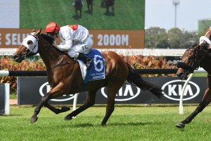 Arbeitsam, above, has to back up week to week to run in the Doncaster Mile at Randwick. Photo by Steve Hart.