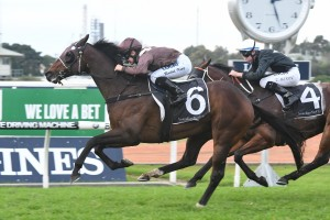 Supply And Demand is favourite to win Thursday's Listed Grafton Cup. Photo: Steve Hart