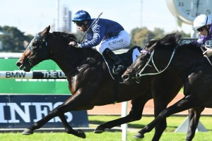 Siege Of Quebec will be set for the Group 1 Golden Rose. Photo: Steve Hart