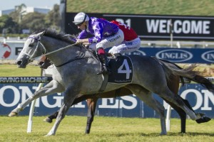 Hugh Bowman will ride D'Argento, above, in the Rosehill Guineas. Photo by Steve Hart.