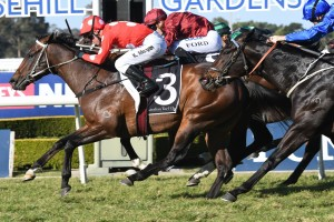 Sandbar, above in red and white colours, scores a gutsy first up win in the Rosebud at Rosehill. Photo by Steve Hart.