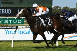 Menari, above, is the short priced favourite for the Golden Rose at Rosehill. Photo by Steve Hart.