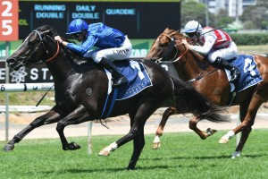 Veranillo, above, will line up in the Manfred Stakes at Caulfield. Photo by Steve Hart.