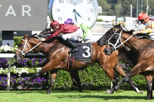 Endless Drama, above in the claret colours, will carry the hopes of New Zealand in the 2019 Winterbottom Stakes at Ascot in Perth. Photo by Steve Hart.