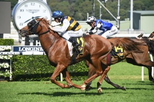 Gallic Chieftain, above, charges into Sydney Cup calculations with a tough win in the Chairman's Quality at Randwick. Photo by Steve Hart.
