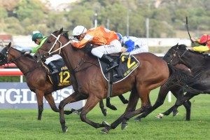 Who Shot Thebarman, above in orange and white colours, is among the nominations for the 2018 Melbourne Cup at Flemington. Photo by Steve Hart.