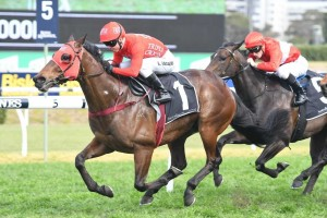 Redzel, above, is the odds on favourite for the 2018 Shorts at Randwick. Photo by Steve Hart.