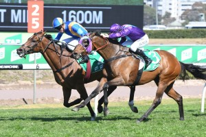 Embley and More To Gain fought out the finish at Royal Randwick this afternoon. Photo by: Steve Hart