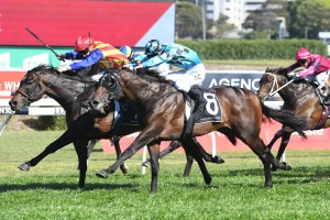 Siege Of Quebec, above in light blue colours, scores a nose win in the Bill Ritchie Handicap at Randwick. Photo by Steve Hart.