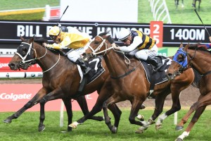 Comin' Through in yellow colours and Tom Melbourne in white, black and gold colours above, are two of trainer Chris Waller's five runners in the 2018 Tramway Stakes at Randwick. Photo by Steve Hart.