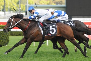 Kermadec will step up to 2000m for the first time in Saturday's Group 1 Caulfield Stakes. Photo: Steve Hart
