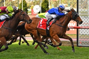 Faatinah, above in blue colours, has been well supported at double figures odds in the 2019 Manikato Stakes at The Valley. Photo by Ultimate Racing Photos.